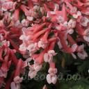 Corydalis solida 'Falls of Nimrodel'
