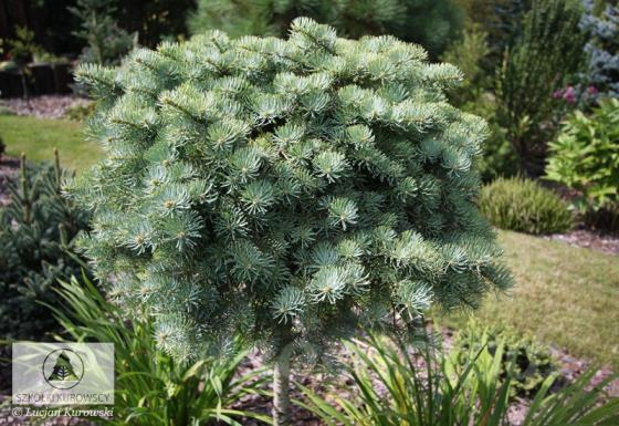 Abies concolor 'Blue Baby' (Minima)